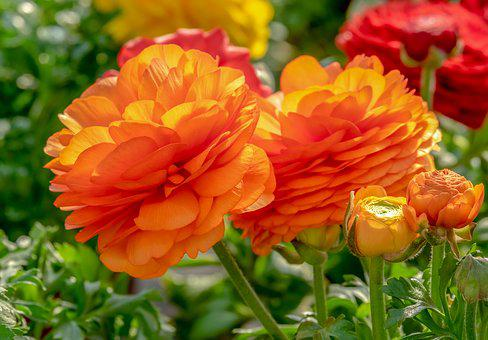 Ranunculus, Flower, Blossom, Bloom, Bright, Orange