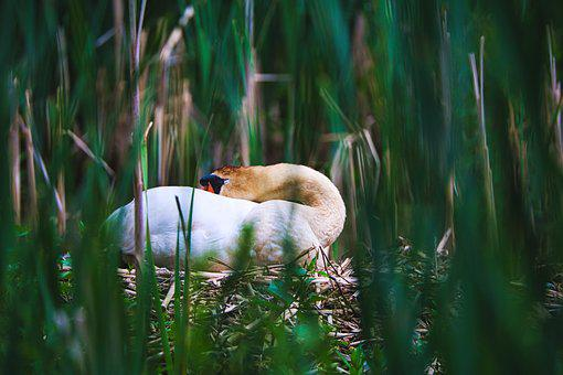 Swan, Nest, Breed, Reed, Swan's Nest, Water Bird
