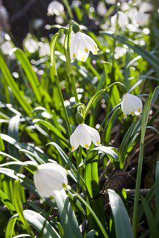 Spring, Snowdrops, White, Snowdrop, Plant, Snowflake
