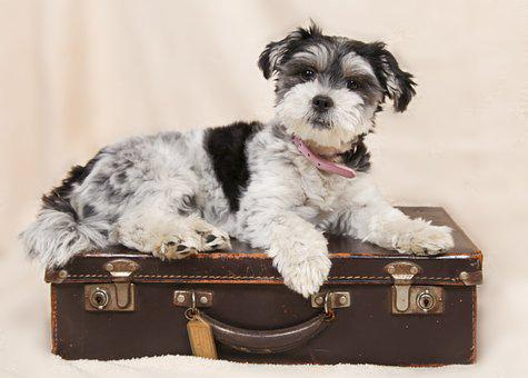Dog, Suitcase, Animals, Curious, Small, Pet