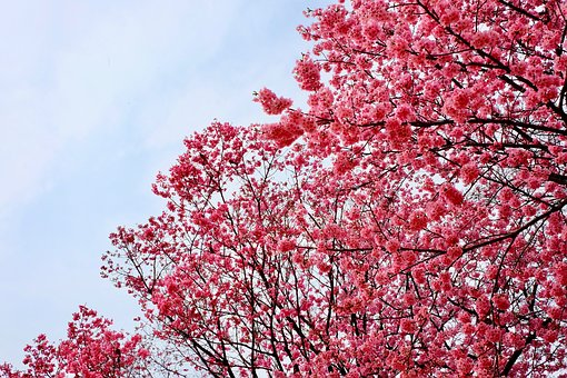Cherry Blossom, Pink, Trees, Full Blooming, Birds