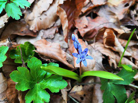 Two-leaf Squill, Flower, Scilla Bifolia, Alpine Squill