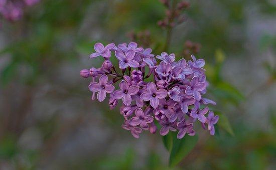 Lilac, Spring, Purple, Flowers, Flower, Garden, Violet