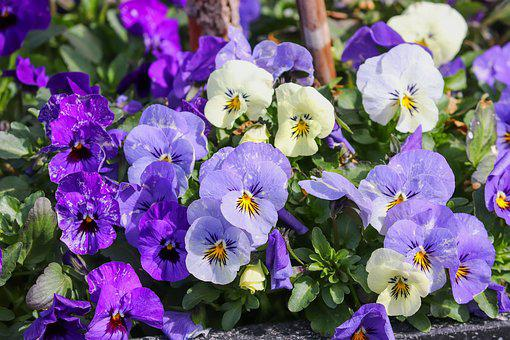 Pansy, Viola, Violet Plant, Violet, Flower, Blossom