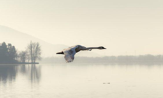 Swan, Fly, Flying, Feather, Nature, Wildlife, White