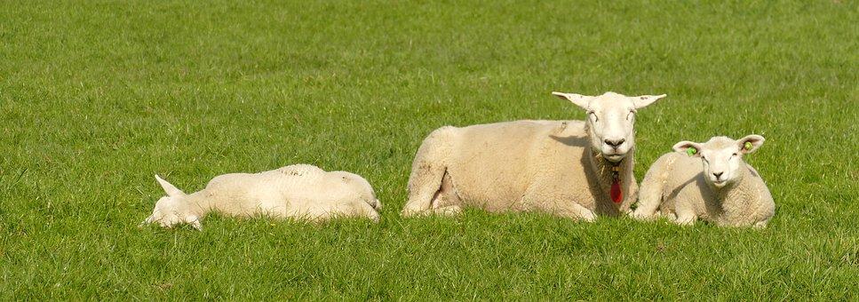 Sheep, Lamb, Cattle, Farm Animal, Fauna, Agricultural