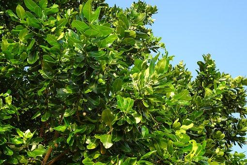 Beauty Leaf, Alexandrian Laurel, Fruit, Nut, Flora