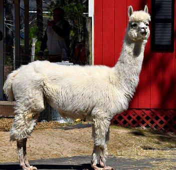 Alpaca, Animal, Cute, Alpaca Farm, Fur, Head, Mammal