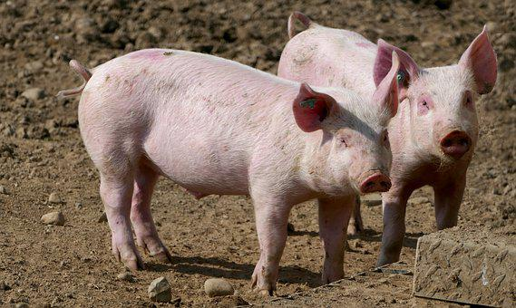 Agriculture, Animal Husbandry, Pigs, Pig Breeding