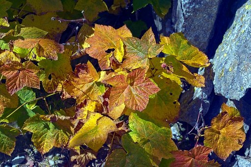 Autumn Thimbleberry Leaves, Color, Leaves, Autumn