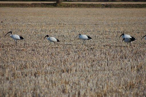 Sacred Ibis, Birds, Ibis, Bird, Beak, Feather, Wild