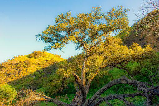 Tree, Large, Old, Radiant, Beautiful, Golden, Leaves