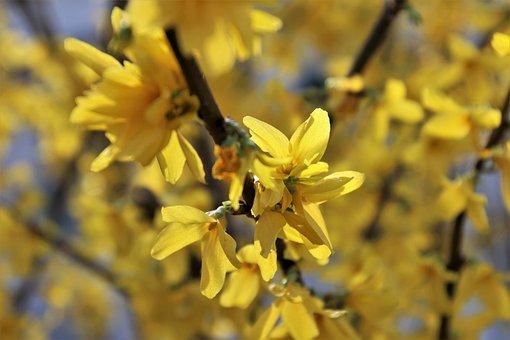 Yellow, Forsythia, Spring, Oliwkowate, Close Up, Bush