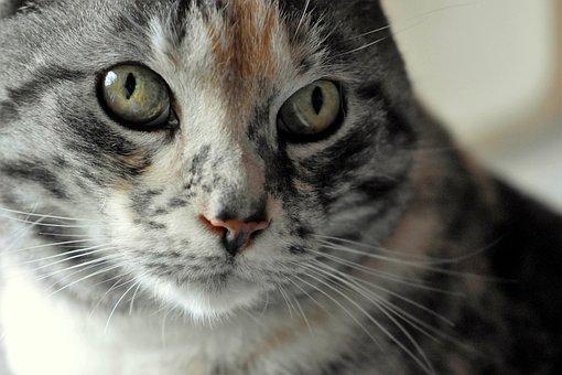 Cat, Domestic Cat, Cat Face, Cat's Eyes, Animal