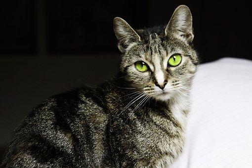Cat, Pet, Kitten, Animals, Lion, Portrait, Domestic Cat