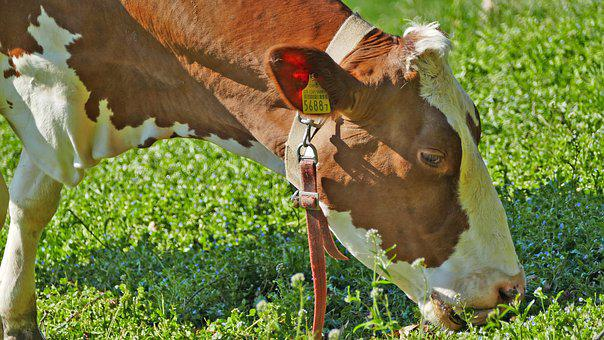 Agriculture, Cattle Breeding, Dairy Farming, Cow