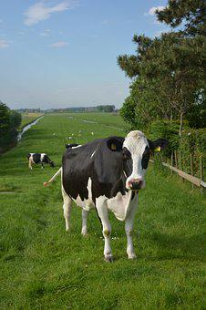 Cow, Netherlands, Landscape, Rural