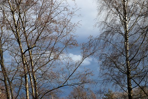 Tree, Birch, Hanging, Twigs, Delicate, The Silence