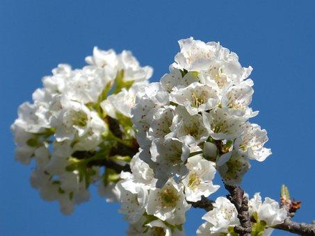 Cherry, Flowering Tree, Flowers, Knob, Flowering