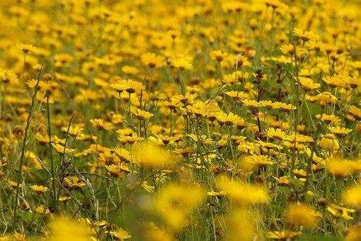 Flowers, Chrysanthemum, Bloom, Nature, Yellow, Field