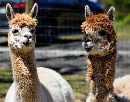 Alpacas, Animal, Cute, Alpaca Farm, Fur, Head, Mammal