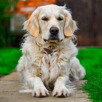 Golden Retriever, Relax, Portrait, Dog, Outdoor