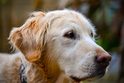 Golden Retriever, Portrait, Outdoors, Dog