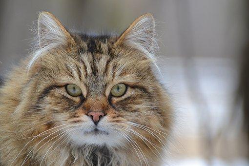 Cat, Animal, Domestic, Long, Hair, Tabby