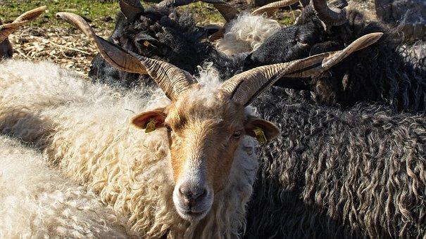 Zackelschaf, Sheep, Hungary, Horns, Rotated, Horn