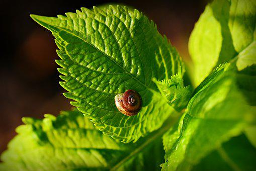 Snail, Shell, Animal, Leaf, Vein, Pattern, Hydrangea