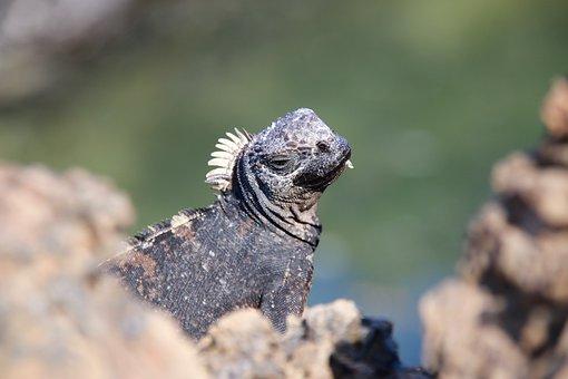 Iguana, Volcanic Lands, Enchanted Islands