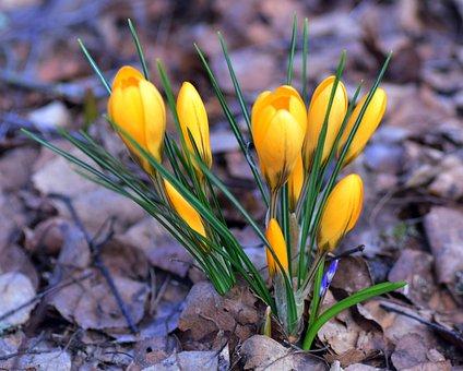 Crocus, Iris, Plant, Perennial, Flower