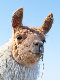 Lama, Head, Animal, Mammal, Animal World, Portrait