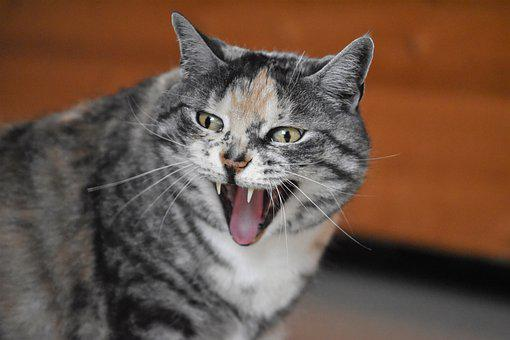 Cat, Yawns, Laughs, Domestic Cat, Mieze, Funny