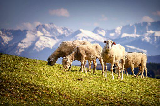 Sheep, Pasture, Meadow, Mountain, Wool, Flock Of Sheep