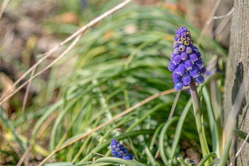 Spring, Sun, Muscari Armeniacum, Grape Hyacinth