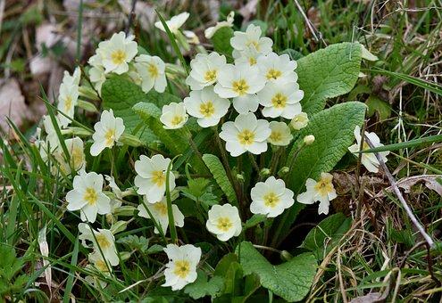 Flower, Flowers Primroses, Flowers, Plants, Nature