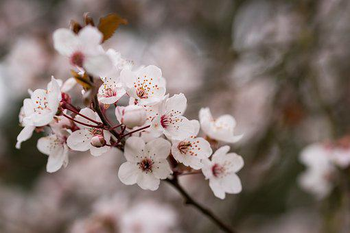 Spring, Tree, Blossom, Nature, Cherry, Branch, White