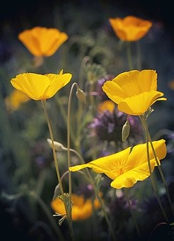 Poppies, Wildflowers, California, Mojave Desert, Orange