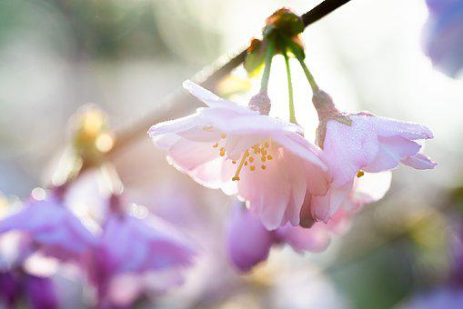 Blossom, Bloom, Cherry, Tree, Pink, Spring, Flowers