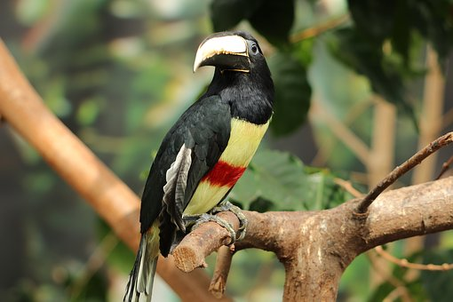 Bird, Zwartnek Arassari, Pteroglosus Aracari