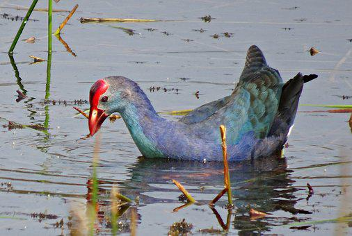 Bird, Purple Swamphen, Purple Moorhen