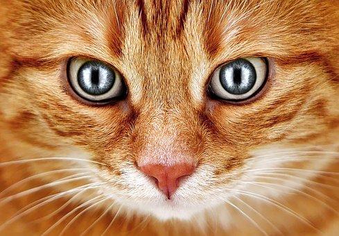 Bad Look, Cat, Red, Mackerel, Eyes, Funny, Pet