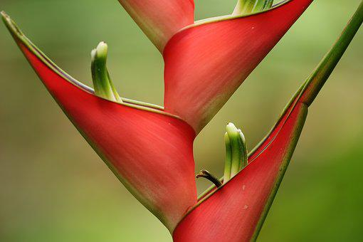 Flower, Tropical, Exotic, Red, Colorful, Background