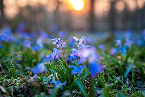 Scilla Siberica, Scilla, Flower, Bloom, Blossom, Spring
