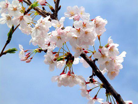 Sakura, Pink, Spring, Blossom, Nature, Branch, Bloom