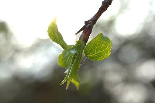 Leaf, Bud, Spring, Green, Tree, Branch, Fresh, Bloom