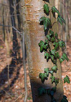 Tree, Forest, Ivy, Log, Creeper, Fouling, Climber Plant