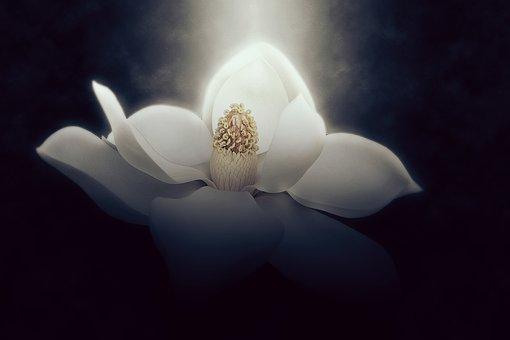 Wallpaper, Background, Magnolia, Flower, Beautiful
