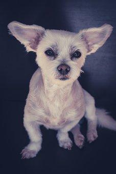 Maltese-havanese, Dog, White, Small, Sweet, Cute, Pet